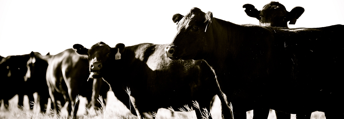 Cattle Black & White